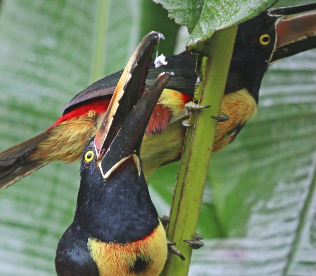 Collared Aracari tossing back some banana