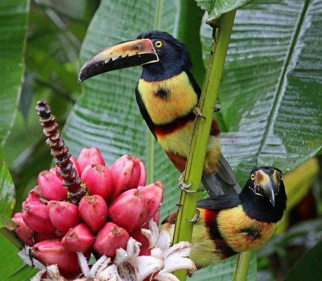 Collared Aracaris enjoying pink bananas by the pool