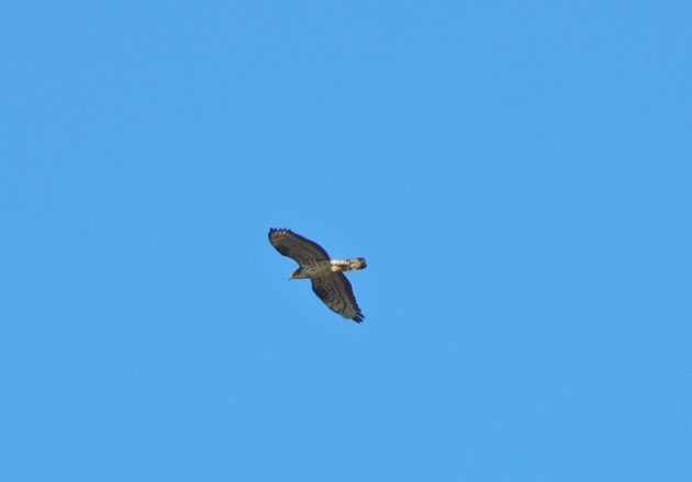 Common Buzzard or Honey Buzzard_