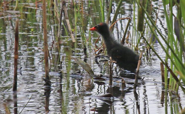 Common Gallinule youngster
