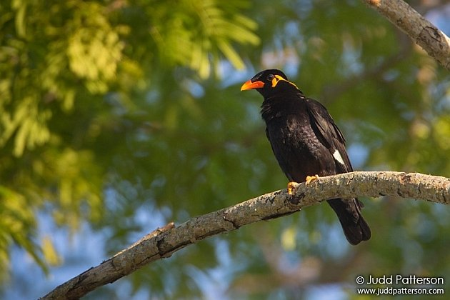 Common Hill Myna