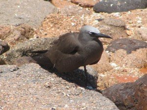 Common Noddy (2)