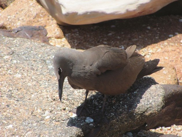 Common Noddy (3)