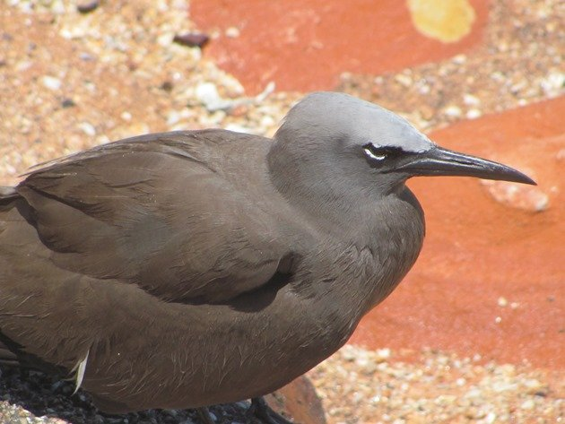 Common Noddy (5)
