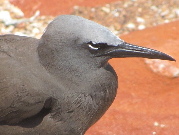 Common Noddy (6)