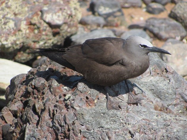 Common Noddy (8)