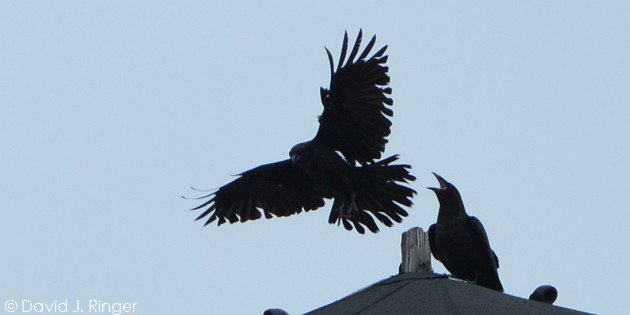 Common Ravens (Corvus corax) by David J. Ringer