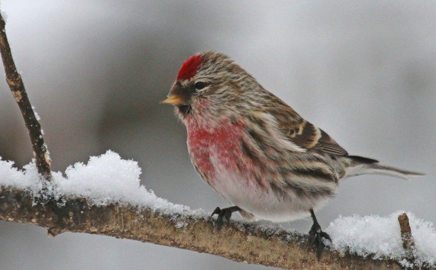 Common Redpoll at Forest Park