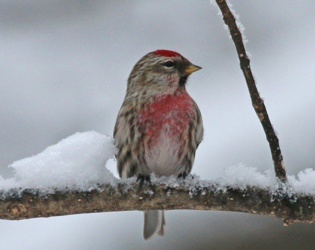 Common Redpoll perched
