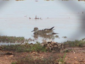 Common Sandpiper (5)