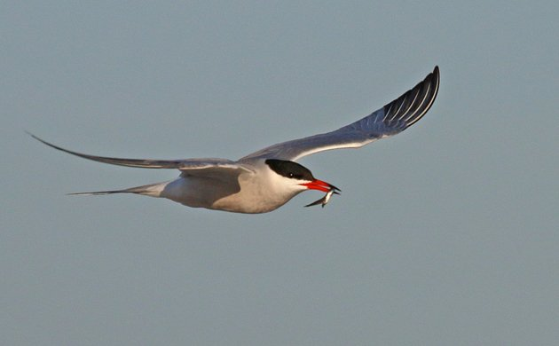Common Tern carrying a fish