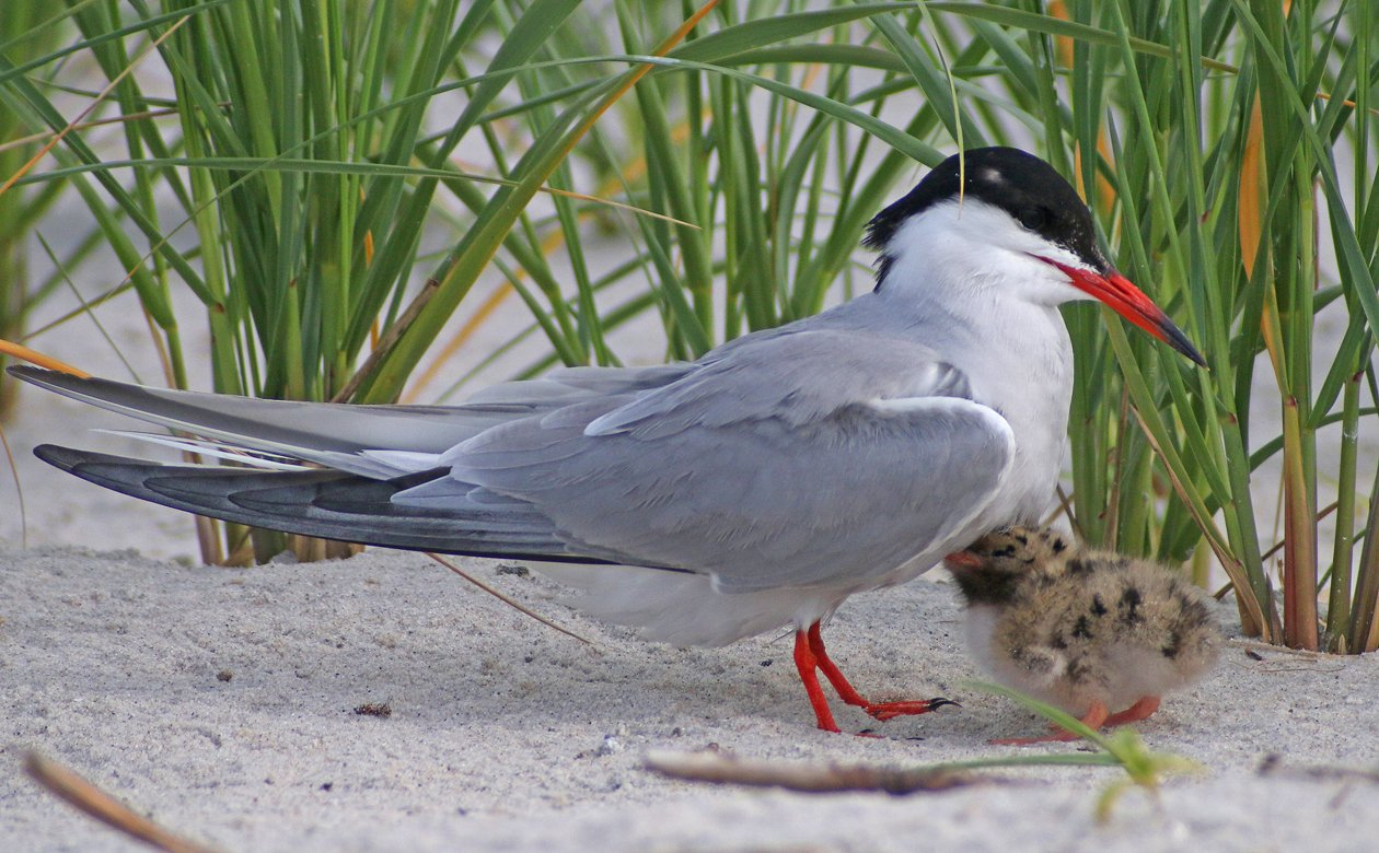 Common Tern chick and adult snuggling