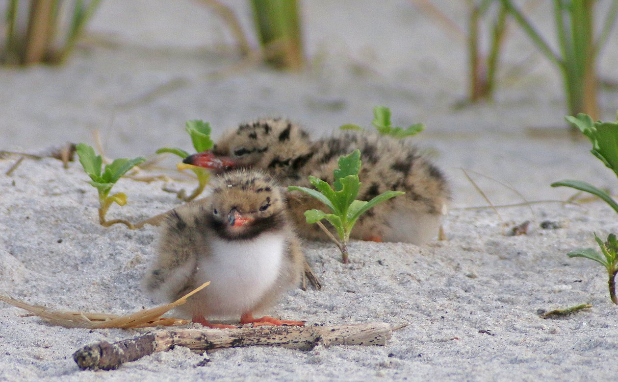 Common Tern chick bummed out