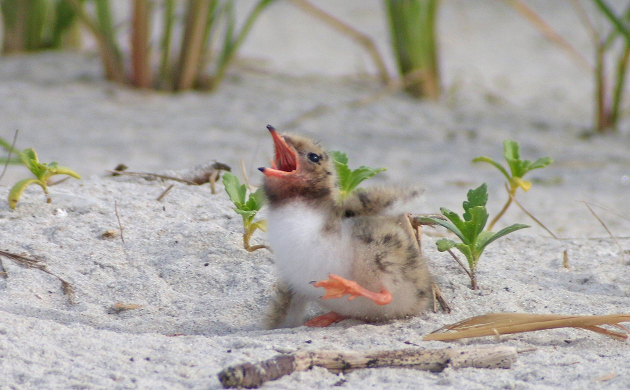 Common Tern chick fallen down