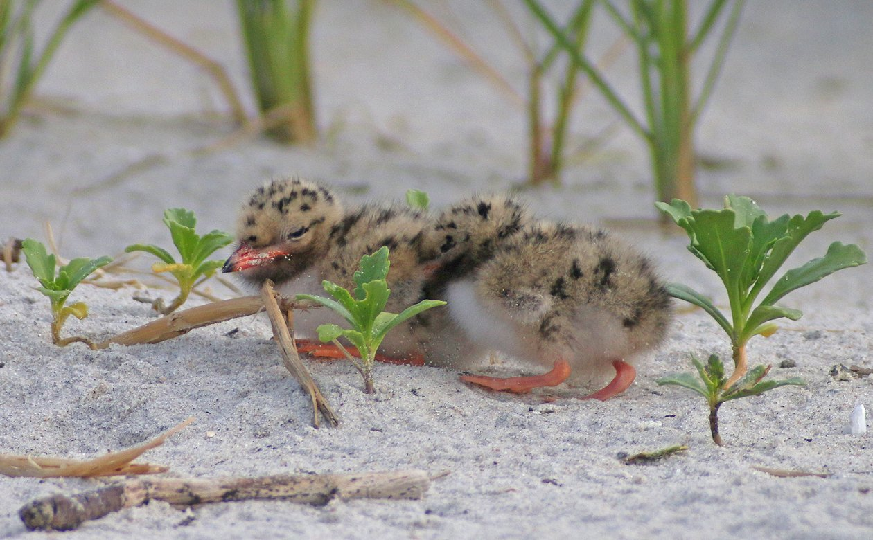 Common Tern chicks snuggling