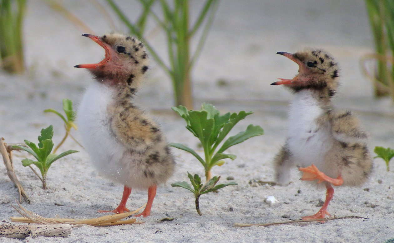 Common Tern chicks yelling for food