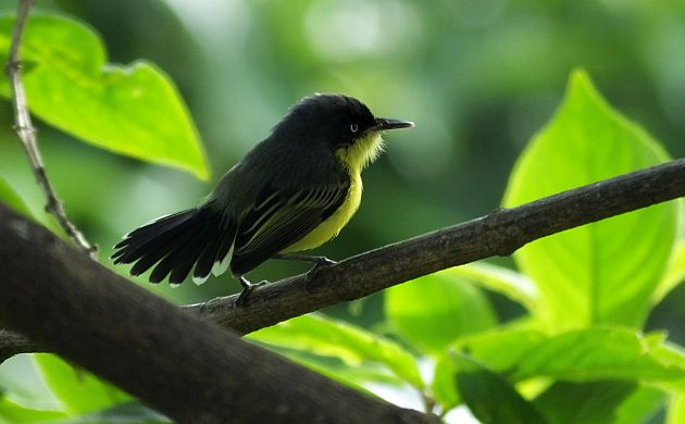 Common Tody Flycatcher fantail