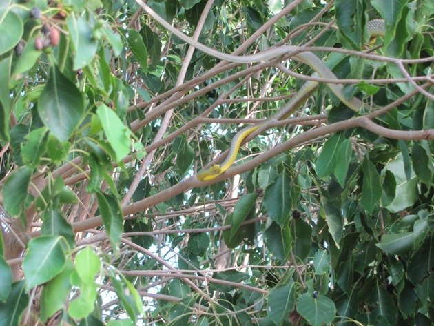 Common Tree Snake (3)