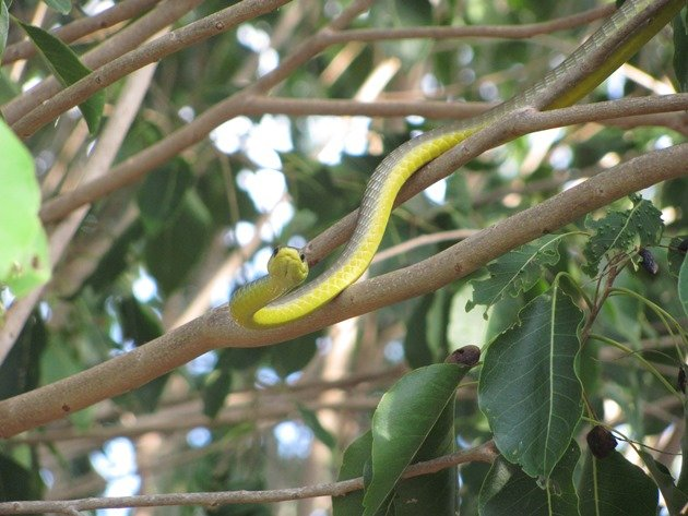 Common Tree Snake (4)