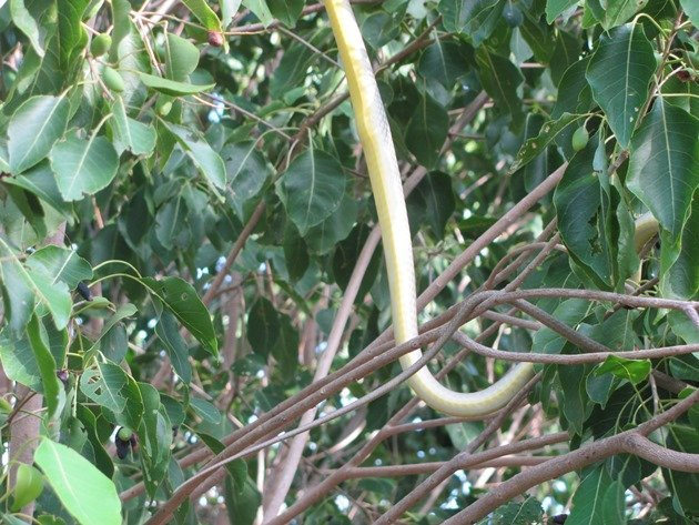 Common Tree Snake (5)