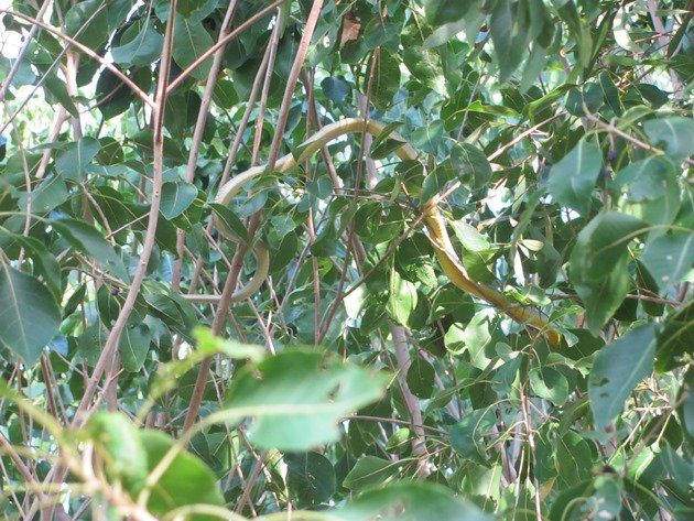 Common Tree Snake (9)
