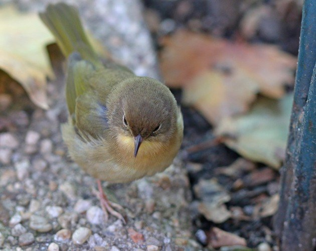 Common Yellowthroat at Bryant Park