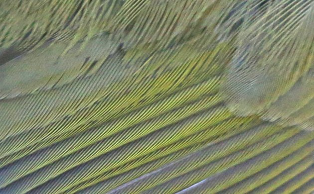 Common Yellowthroat feather detail