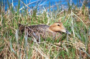 Common_Eider_Female_on_Nest