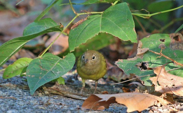 Connecticut Warbler at Strack pond between leaves