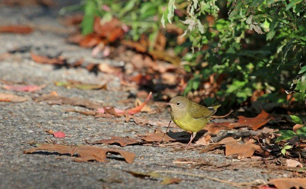 Connecticut Warbler walking out