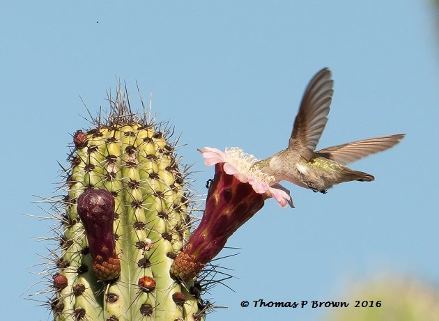 Female Costa's Hummingbird in a Cardon Cactus bloom