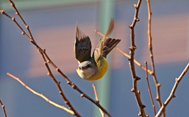 Couch's Kingbird in Manhattan