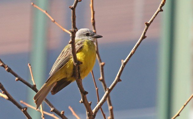 Couch's Kingbird in New York State