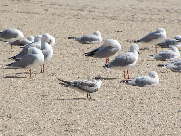 Crested Tern & Silver Gulls (2)