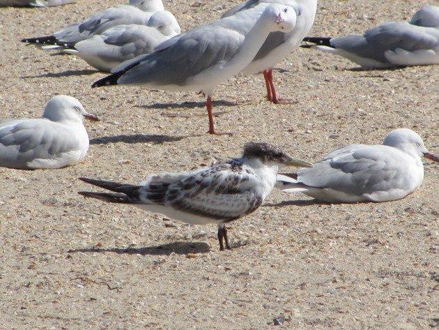 Crested Tern & Silver Gulls (3)