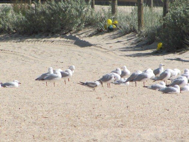 Crested Tern & Silver Gulls