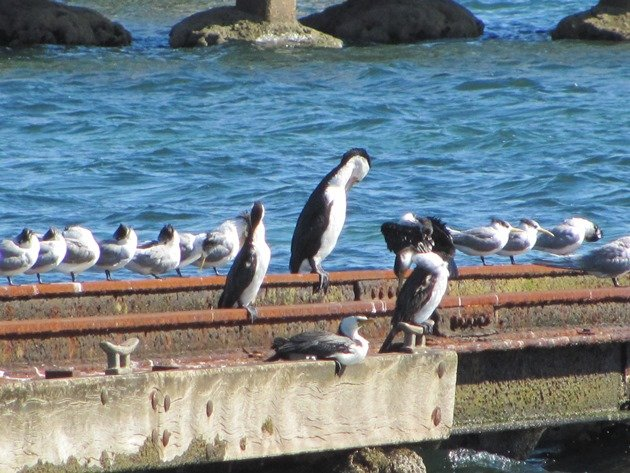 Crested Terns & Cormorants
