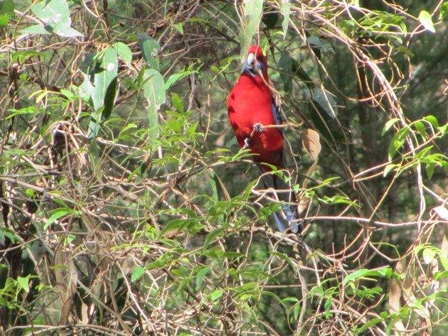 Crimson Rosella (2)