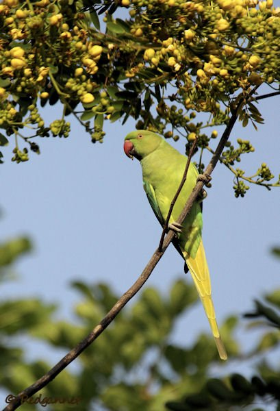DEL 21Nov13 Rose-ringed Parakeet 01