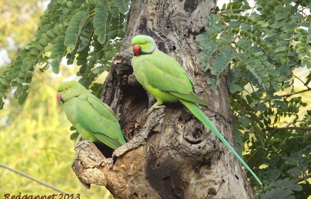 Alien species – Rose-ringed Parakeet.