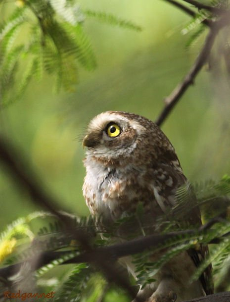 DEL Apr10 Spotted Owlet 02