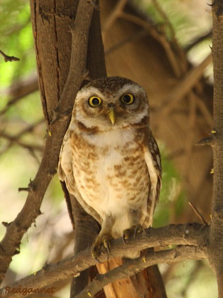 DEL Apr10 Spotted Owlet 04