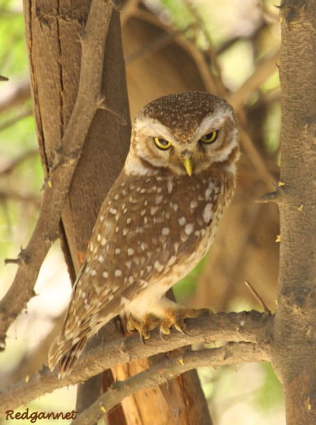 DEL Apr10 Spotted Owlet 06