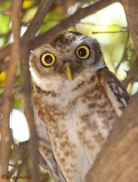 DEL Apr10 Spotted Owlet 07