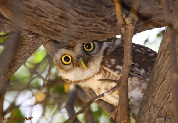 DEL Apr10 Spotted Owlet 08