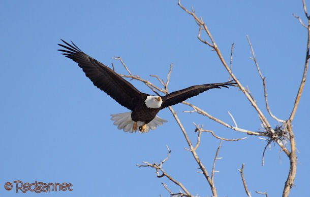 DEN 27Dec15 Bald Eagle 01