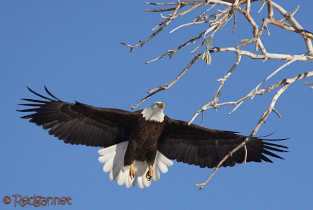 DEN 27Dec15 Bald Eagle 02