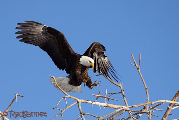 DEN 27Dec15 Bald Eagle 04