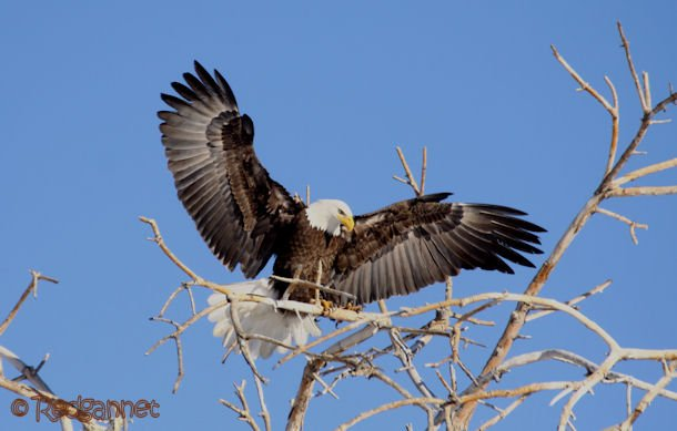 DEN 27Dec15 Bald Eagle 05