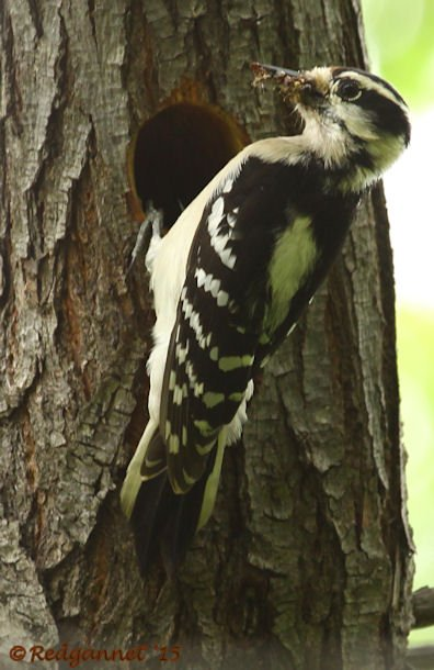 DFW 21Apr15 Hairy Woodpecker 02